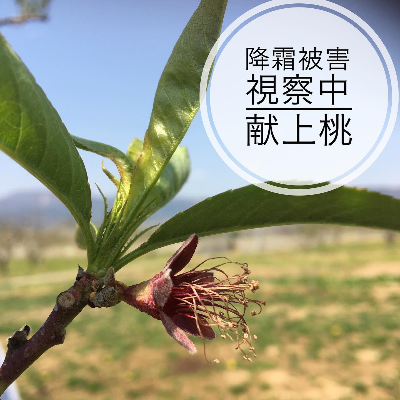 【献上桃の降霜被害】降霜被害が出ています。例年の50%ほどしか収穫できない予想とのお話。1年のご苦労が一晩の霜で台無しに。どうにかならないのか。